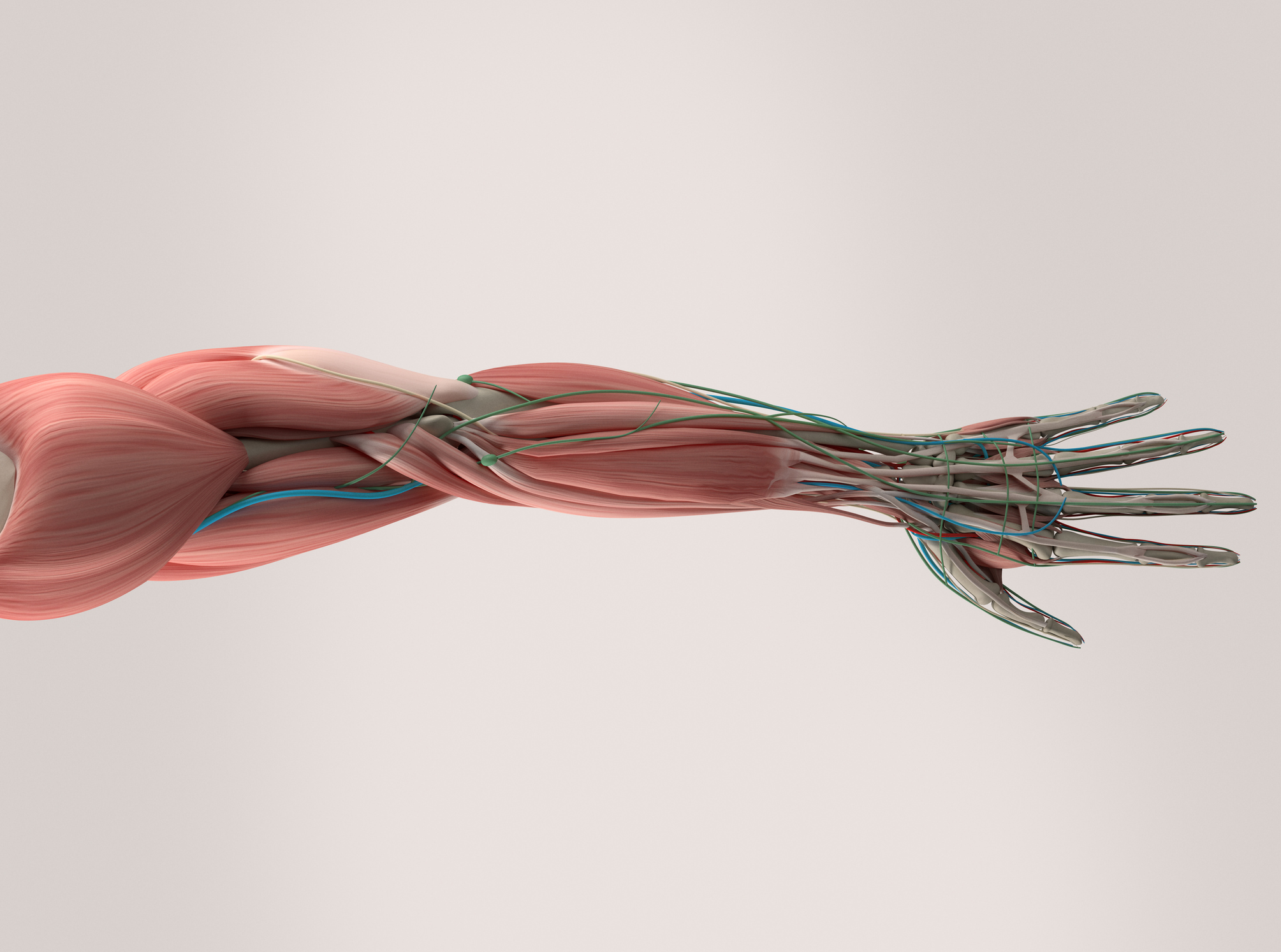 Human anatomy, hand, arm,muscular system on plain studio background.